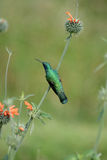 Sparkling Violetear Hummingbird on a Bush Royalty Free Stock Photos