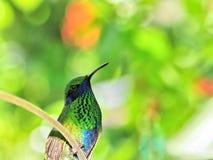 Sparkling violetear hummingbird (colibri) Royalty Free Stock Image