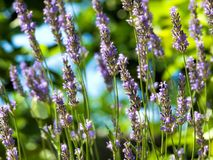 Lavender morning Royalty Free Stock Image