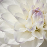 Sparkling white bulb Dahlia in extreme closeup Royalty Free Stock Photography
