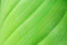 Sparkling young banana leaf Royalty Free Stock Photos