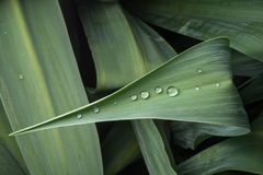Sparkly dew drops on green plant leaf. Sparkly dew drops arranged in a line on a green plant leaf Stock Images