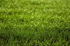 Sparkly Grass. Grass at sunrise with water sprinkler on stock photo