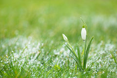 Sparkly snowdrop flower with snow Stock Photo