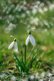 Sparkly snowdrop flower soft focus Royalty Free Stock Photography