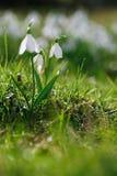 Sparkly snowdrop flower soft focus Stock Photos