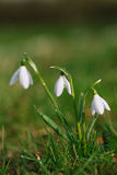 Sparkly snowdrop flower soft focus Stock Images