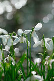 Sparkly snowdrop flower soft focus, perfect for postcard Stock Photos