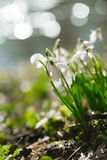 Sparkly snowdrop flower soft focus, perfect for postcard Stock Photo