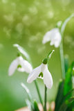 Sparkly snowdrop flower, very soft tiny focus Stock Photo
