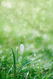 Sparkly snowdrop flower, very soft tiny focus Royalty Free Stock Images