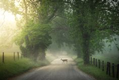 Deer crossing Cade`s Cove on a beautiful foggy sunrise morning in Tennessee. Stock Photos