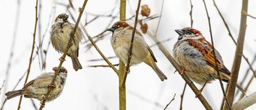 Sparow bird on a branch. Winter royalty free stock images