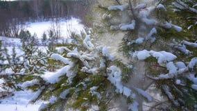 Sparren in de bosdalingensneeuw stock videobeelden