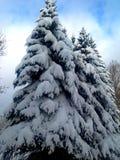 Sparren in de sneeuw Stock Afbeelding