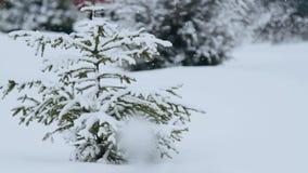 Sparren in de sneeuw stock footage