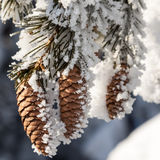 Sparren in de sneeuw in de winter Royalty-vrije Stock Afbeelding