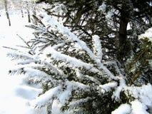 Sparren in de sneeuw met takken Stock Afbeelding