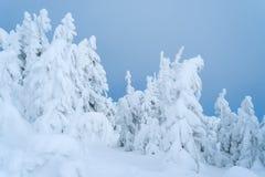 Sparren in de sneeuw op blauwe hemelachtergrond Stock Foto's