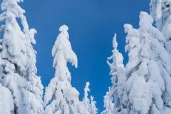 Sparren in de sneeuw op blauwe hemelachtergrond Royalty-vrije Stock Foto