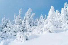 Sparren in de sneeuw op blauwe hemelachtergrond Royalty-vrije Stock Fotografie