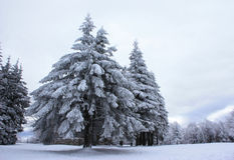 Sparren die in sneeuw worden behandeld Stock Foto's