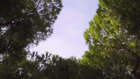 Sparren en blauwe hemel op een winderige de winterdag in Italië stock footage