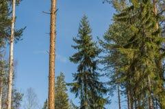 Sparren in het bos Stock Afbeeldingen
