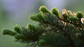 Sparren met jonge spruit in de lente stock videobeelden