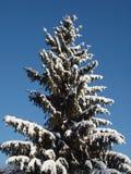 Sparren met kegels met sneeuw tegen de blauwe hemel worden behandeld die Royalty-vrije Stock Afbeelding
