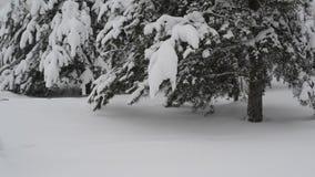 Sparren met sneeuw in bos worden behandeld dat stock video