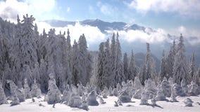 Sparren met sneeuw, witte wolken timelapse, blauwe hemel, het panorama van het de winterlandschap stock video