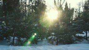 Sparren op zonsondergang in de winter stock videobeelden