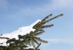 Sparren in sneeuw Royalty-vrije Stock Foto's