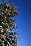 Sparren in sneeuw worden behandeld die royalty-vrije stock afbeeldingen