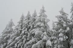 Sparren in witte sneeuw worden behandeld die royalty-vrije stock foto's