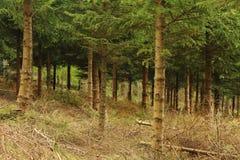 Sparrenbos op een Helling stock foto