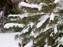 Sparrentakken en sneeuw Stock Foto