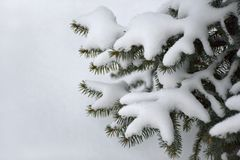 Sparrentakken met sneeuw worden behandeld die Stock Afbeeldingen