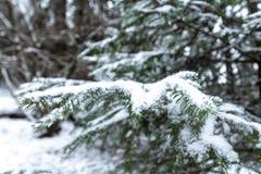 Sparrentakken met sneeuw worden behandeld die stock foto's