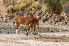 Sparring диких лошадей Стоковое Фото