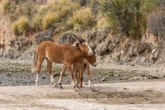 Sparring диких лошадей Стоковое Изображение RF