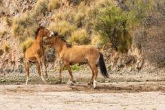 Sparring диких лошадей Стоковые Фотографии RF