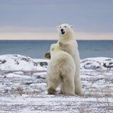 Sparring полярных медведей стоковые фотографии rf