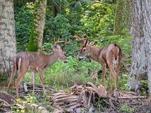 Sparring самцы оленя Стоковые Фото
