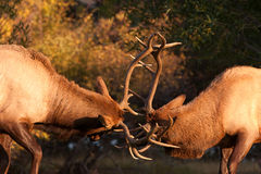 Sparring Bull Elk 82. Two Bull Elks sparring over territory Royalty Free Stock Photo