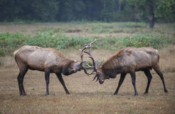 Sparring bull elk Stock Photography