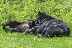 Sparring d'ours noirs photo stock