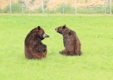 Sparring d'ours noirs Images stock