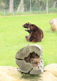 Sparring d'ours noirs Photographie stock